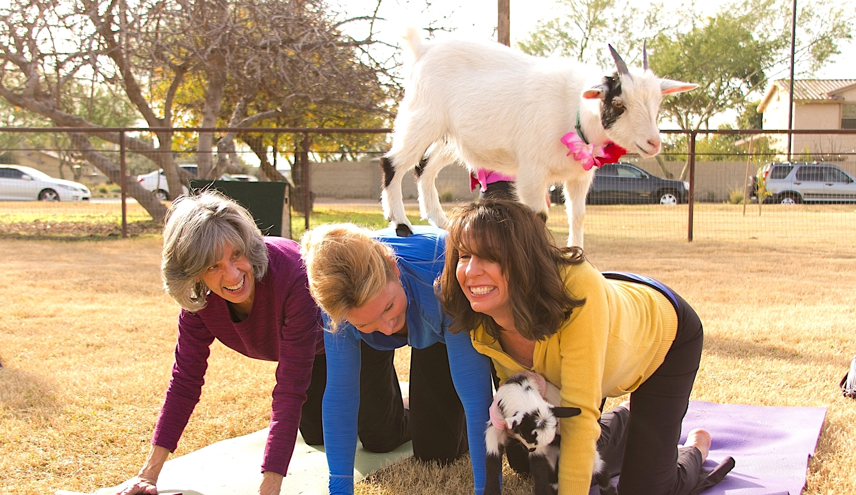 Goat Yoga Is Coming To Victoria Bc 2019